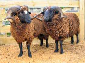 Arapawa rams (Trotter/McCulloch photo)