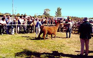 Annual Rare Breeds auction in Christchurch.  (Trotter/McCulloch photo.)