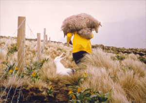 Rescuing Campbell Island sheep, 1975 (Photo by Bill Regnault)