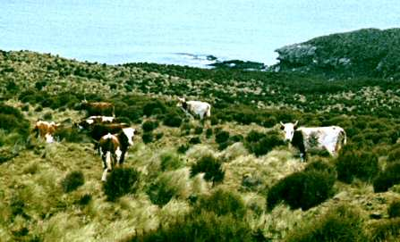 Campbell Island cattle