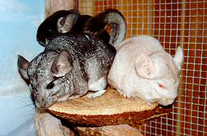 Chinchillas (Photo by Gail Simons)