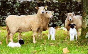 Dorper lambs with Coopworth and Romney ewes