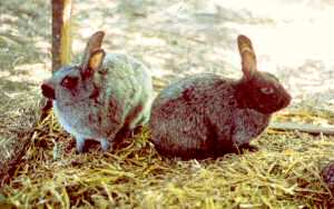 Enderby Island rabbits (Photo by Sitereh Schouten)