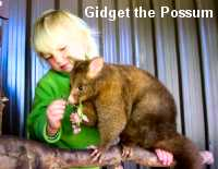 Gidget the  Possum (Photo by Gail Simons)
