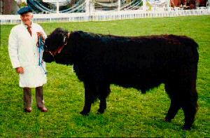 Standard Galloway (Photo courtesy N.Z. Galloway Cattle Society)