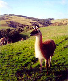 Guanaco male 'Shaun' (Photo by Janette Buckingham)