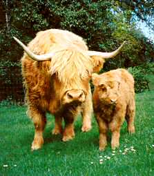 Highland cow, Cherish, with her calf, Angel.  (Photo by Gail Simons.)