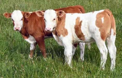 Hinterwald calves