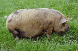 Kunekune pig (Photo by Karen Nicoll)