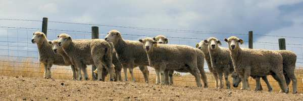 Lincoln ewes