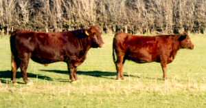 Red Poll bull and cow