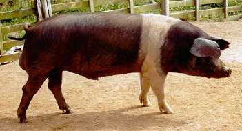 Wessex saddleback boar Avonstour Bro bred by John Earney (Photo by Karen Nicoll)