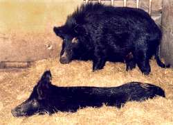 Auckland Island pigs