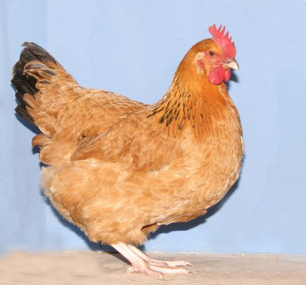 Buff Sussex pullet