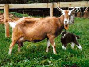 Toggenburg doe and kid (Photo from New Zealand Dairy Goat Breeders Assosiation)
