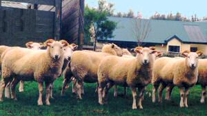 Wiltshire Horn ewes at Utopia Farm (Photo by Jean Donaldson)
